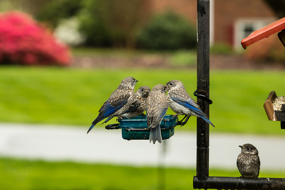 Eastern Bluebird Fledglings