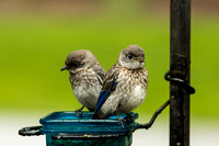 Eastern Bluebird Fledglings